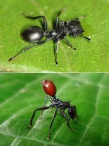 Hormiga normal y hormiga parasitada por el nematodo