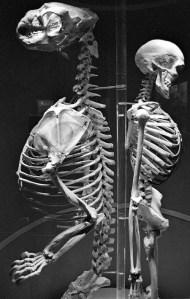 Comparacion esqueleto gorila/ser humano