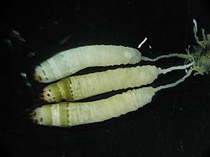 leucochloridium04