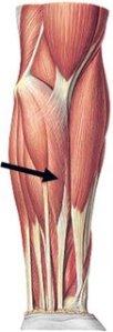 musculo-palmar