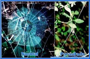 Tela de araña normal y modificaciones que se producen en la araña parasitada