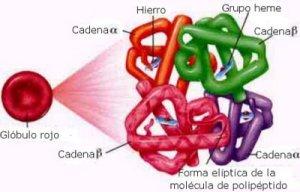 Hemoglobina_estructura