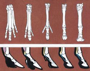 Parte del registro fósil de las patas del caballo